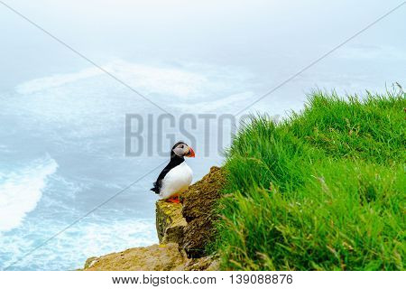 Atlantic Puffin standing on the rock at the cliff of Latrabjarg in Iceland