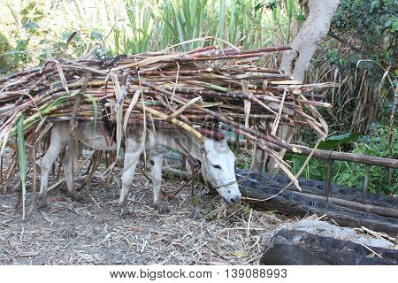 White burro stops to eat with load of sugarcane on his back in rural Peru