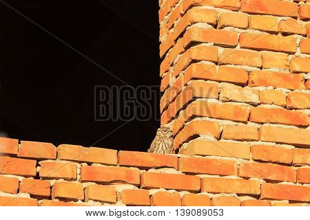 little owl on the brick wall, bird, prey, mimicry, birds and people