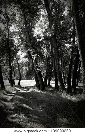In summer forest black and white image