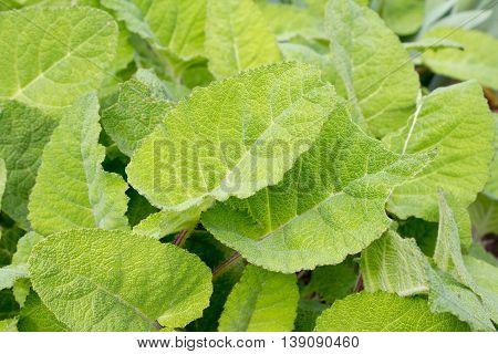 Clary - Sage - Salvia sclarea, close-up