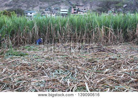Magdalena Cajamarca Peru - July 13 2016: Man with machete cuts sugarcane in Magdalena Cajamarca Peru on July 13 2016.