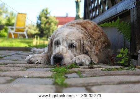 Sad big dog waiting for return of the owner.