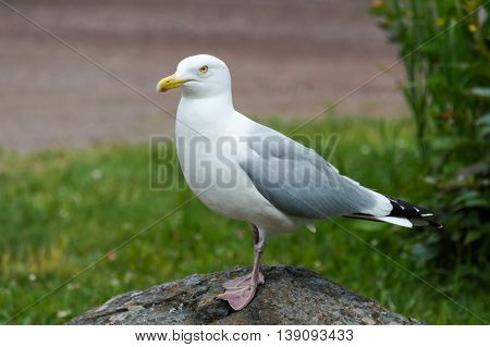 Herring Gull standing on a rock looking for food.