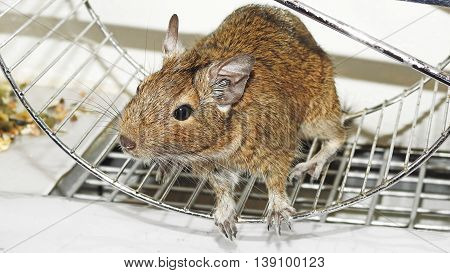 Small and funny Australian home pet Degu.