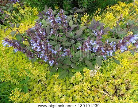 Beautiful composition in the flowerbed: a shrub with small green leaves surrounded by plants with light green leaves and delicate yellow flowers