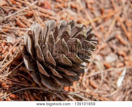 a fir-cone on the ground in the forest.