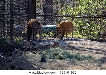 A pair of red river hogs (Potamochoerus porcus), also known as bush pigs, stands near the corner of a fence.