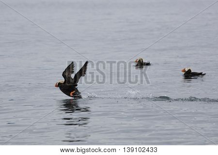 Tufted Puffin appears to be running on water while taking off to Fly in Katchemak Bay, Alaska