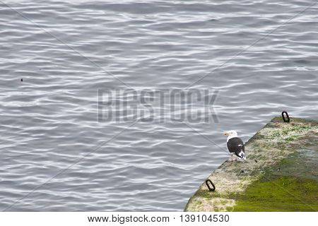 Great Black-backed Gull, Larus Marinus