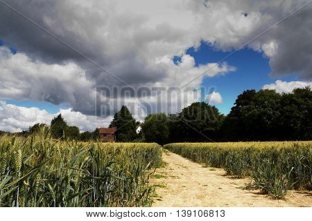 Track Going Through A Field Of Wheat