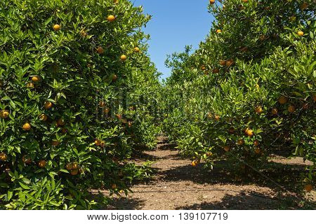 The grove of orange trees with ripe fruits