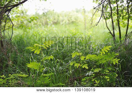 Landscape of the field with little rowan