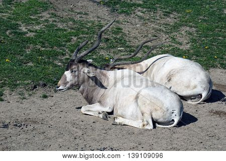 Two addax antelopes (Addax nasomaculatus) sit and relax on the ground.