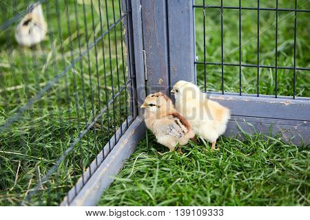 Three Chicks Breaking Out Off The Cage