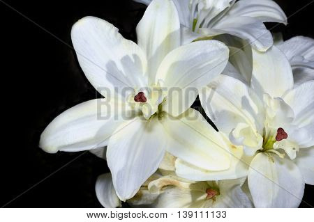 Decorative white lily on black background closeup.