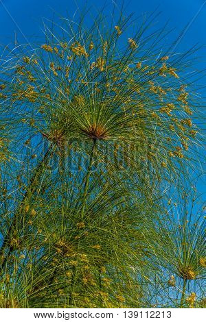 Blooming Papyrus Plant (cyperus Papyrus) Known As Paper Reed Or Nile Grass