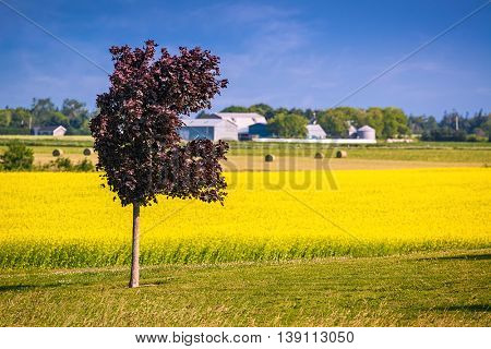 Crimson King maple contrasting with a field of canola in rural Prince Edward Island, Canada