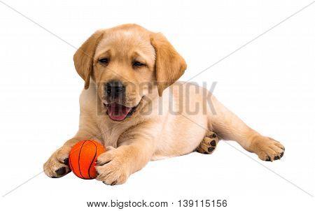 dog labrador puppy isolated on white background