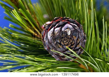 Pine branch on a branch close-up coniferous tree.