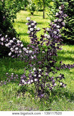 Blooming spring bush physocarpus diabolo in the garden.