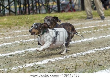 Two dachsunds racing in the Rathdrum Days wiener dog races in Rathdrum Idaho.