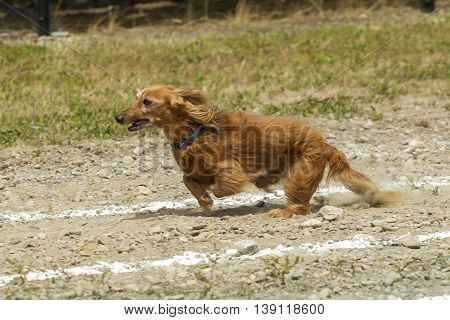 Long haired Dachsund in race in Rathdrum, Idaho.