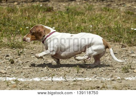 Tiny Dachsund tries hard in the race in Rathdrum Idaho.