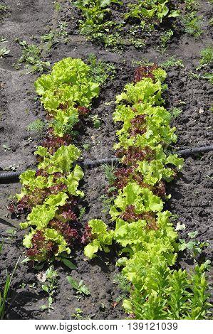 Green salad growing in the garden beds in summer