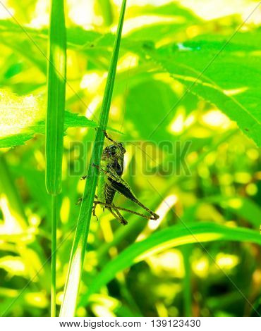 Nematocera grasshopper on a green stalk of a plant in a sunny summer day. selective focus
