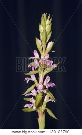 Erect Satyrium Orchid - Satyrium erectum From South Africa