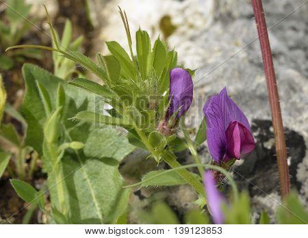 Common Vetch - Vicia sativa Wild Flower from Cyprus