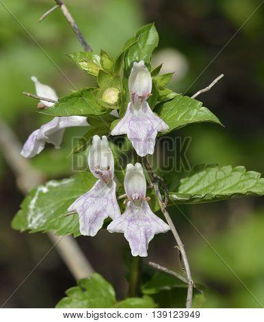 Great Hedge-nettle or Prasium - Prasium majus Wild Flower from Cyprus