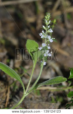 Heath Speedwell - Veronica officinalis Acidic Grassland Flower