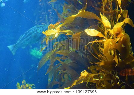 Sunlight hitting a Kelp Plant Forest taken in the cold waters of the Pacific Ocean at the California Coast