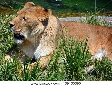 Femele lion is one of the four big cats