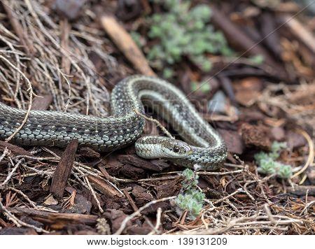 Northwestern Garter Snake common in the Pacific Northwest garden closeup macro