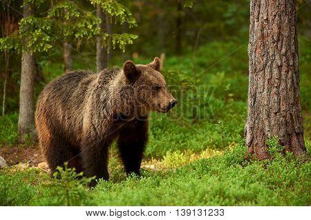 Beautiful and wild brown bear in the green Finnish taiga