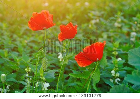 Red poppy flowers - in Latin Papaver - in the meadow under warm sunset light. Summer flower landscape. Selective focus at the poppy flowers