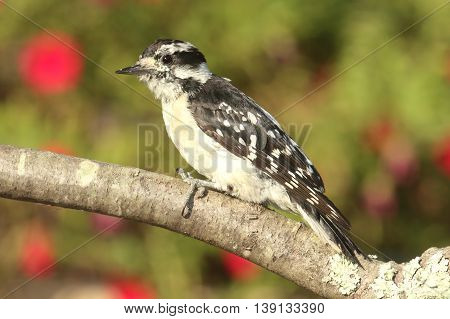 Female Downy Woodpecker (Picoides pubescens) on a perch with flowers in the background