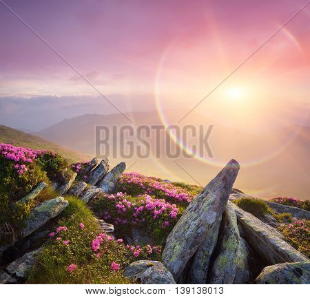 Mountain landscape. Pink flowers in the meadow and beautiful stones. Wonderful sunrise with fog and rainbow. Blooming rhododendron. Art processing of photos. Color toning, collage