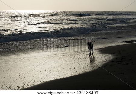 Dog on the beach at sunset alone
