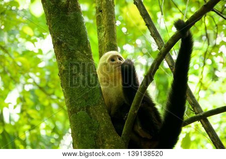White-throated Capuchin Monkeys looking up in costa rica
