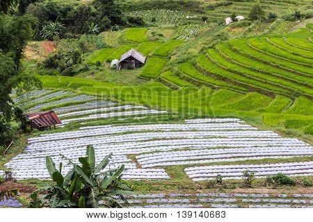 Terraced Rice Field , Pha Mon Chiangmai Thailand