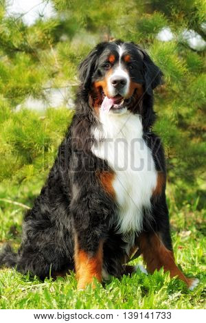 big good happy Bernese mountain dog sits in the summer in full growth on a background of conifers and fun looks