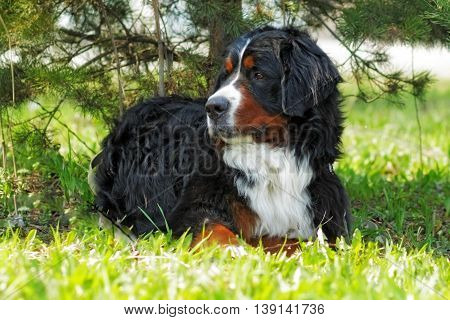 beautiful Bernese mountain dog rests in the shade summer and is resting stares into the distance