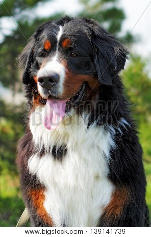 happy Bernese mountain dog smiling summer nature face closeup