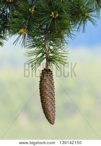 A Female Sugar Pine Pinecone Hanging Down