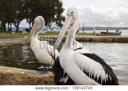 Australian Pelicans near the water front side