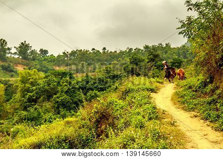 A farmer leads his cows down a trail past the green Vietnamese countryside